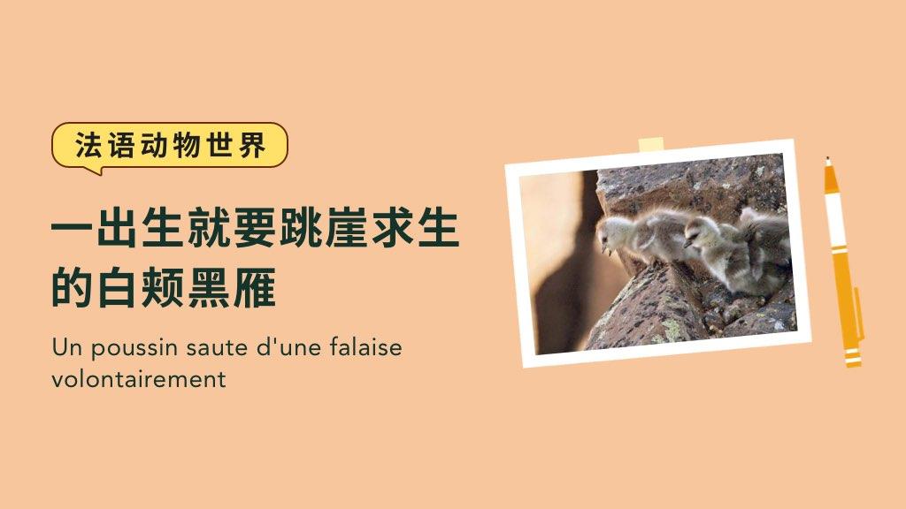 【法語動物世界】一出生就要跳崖求生的白頰黑雁