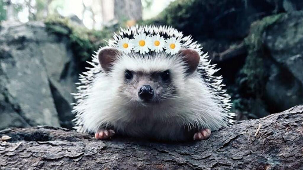 【法语动物世界】可爱的小刺猬居然有这么凶猛的一面……