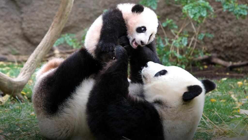 点击上千万的视频:见证一只熊猫的诞生