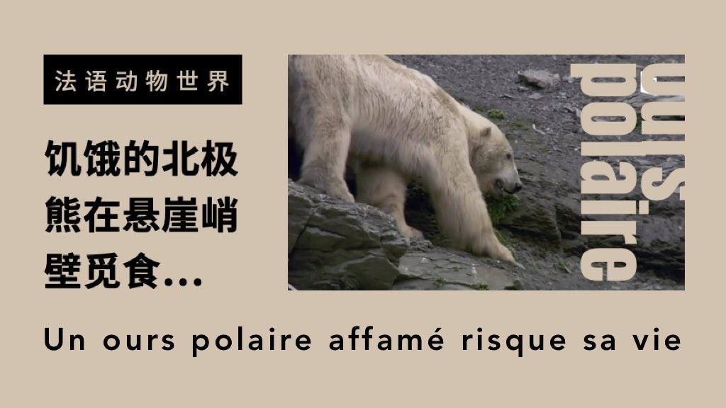 法語動物世界:浮冰消失后,饑餓的北極熊在懸崖峭壁覓食…