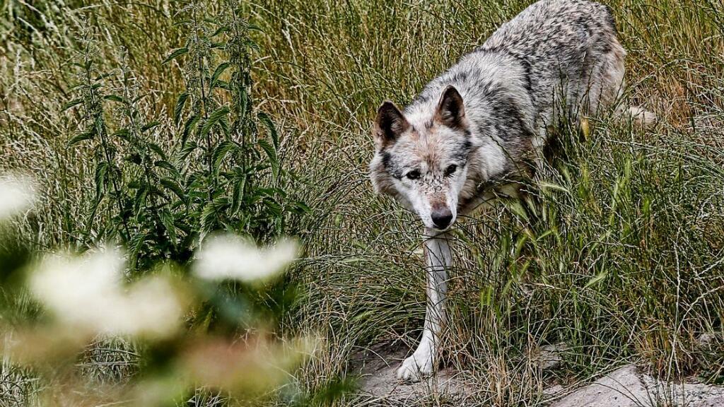 在阿爾卑斯山,狼群正漸漸逼近人類的地盤……